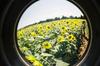 Sunflower18