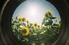 Sunflower23