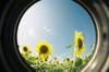 Sunflower24